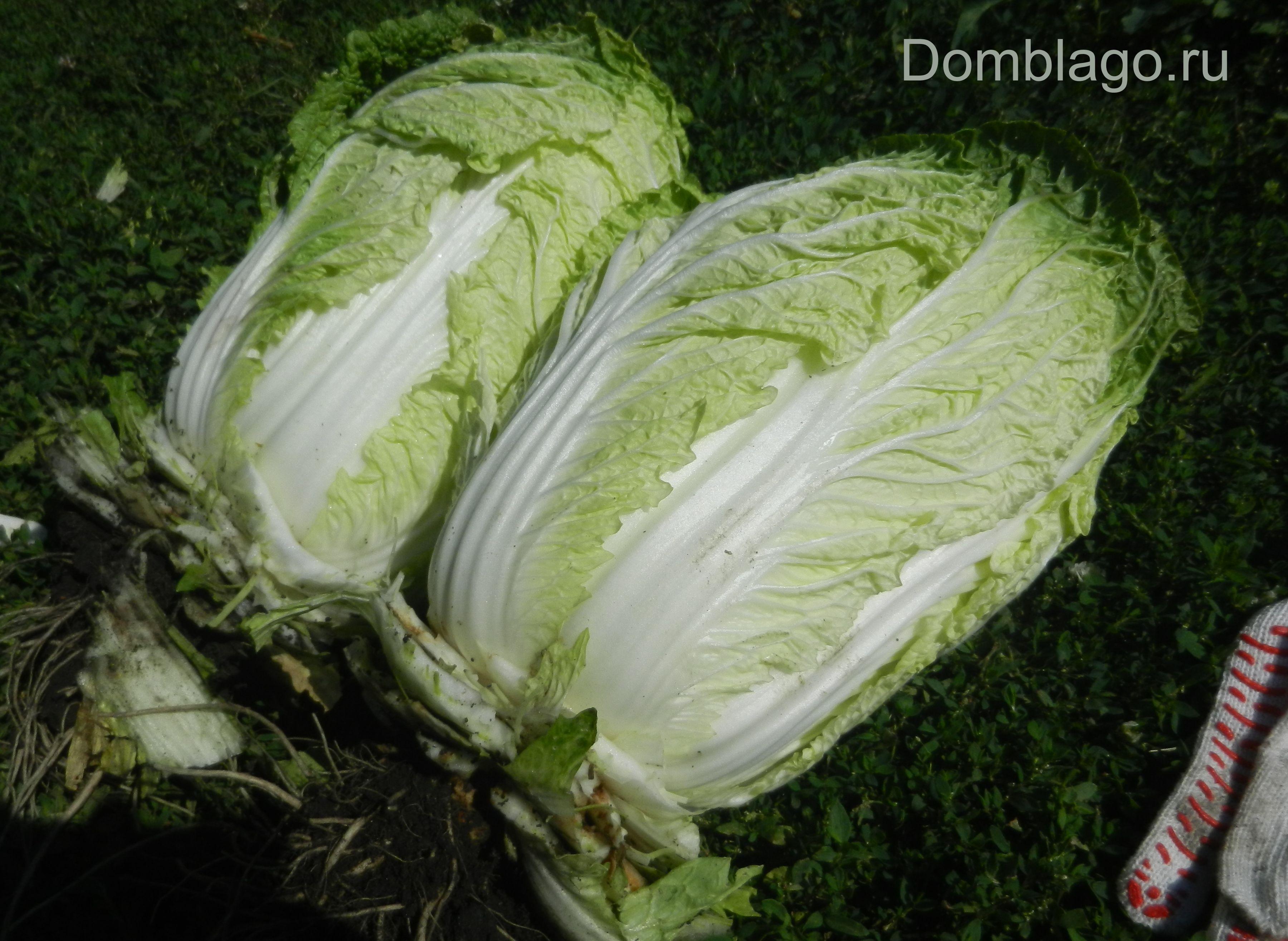 Выращивание пекинской капусты на урале 3