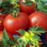 томаты на Южном Урале