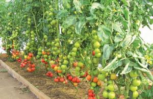 томат на Южном Урале